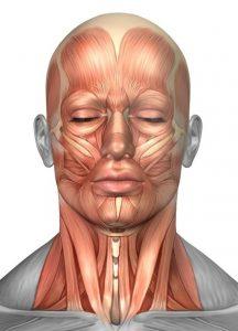 Anatomisk illustration til brug ved naturlig ansigtsløftning.